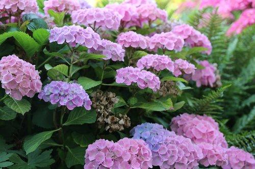hydrangeas  plant  flowers