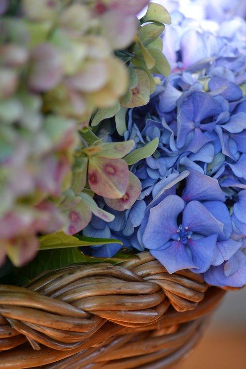 hydrangeas  flowers  flower
