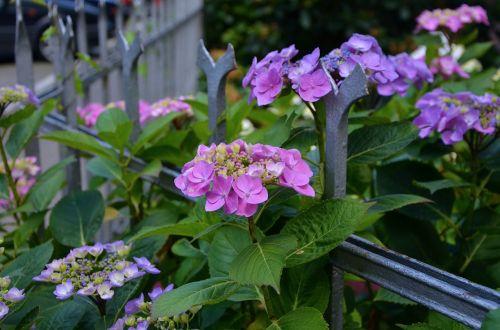 hydrangeas fence flowers