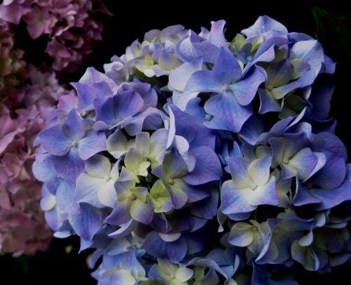 Hydrangeas Starting To Bloom