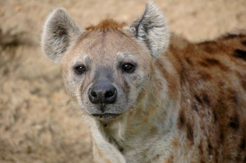 hyena wildlife africa
