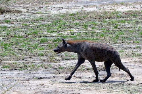hyena savannah tanzania