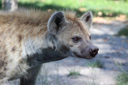 hyena mammal fauna