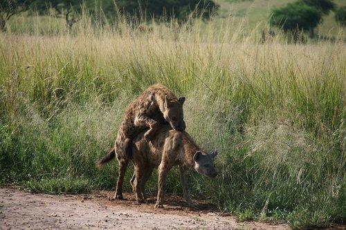 hyena  africa  pairing