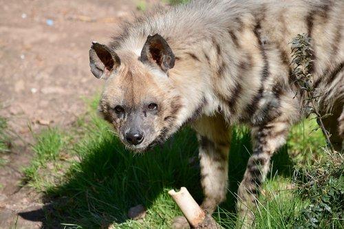 hyena  predator  zoo