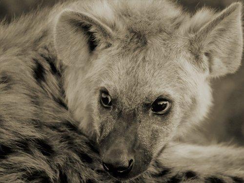 hyena cub  fear  afraid