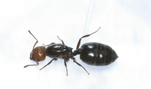 hymenoptera ant head