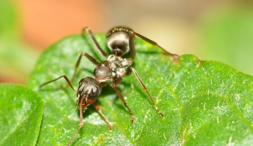 hymenoptera ant serviformica