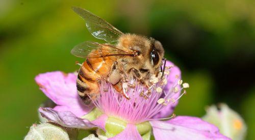 hymenoptera bee apis
