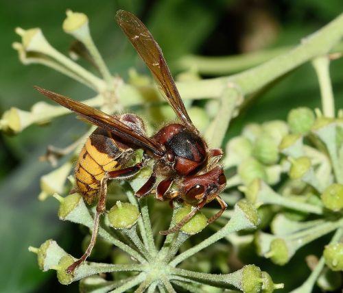 hymenoptera bumblebee wasp