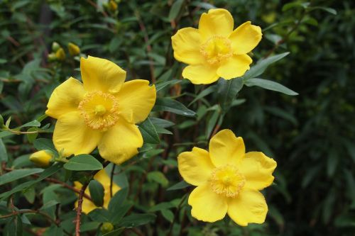hypericum st john's wort yellow