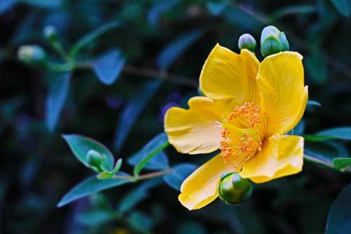 hypericum flower tutsan