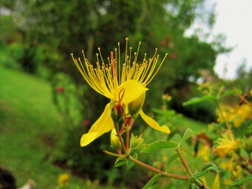 Hypericum Flower And Stamen