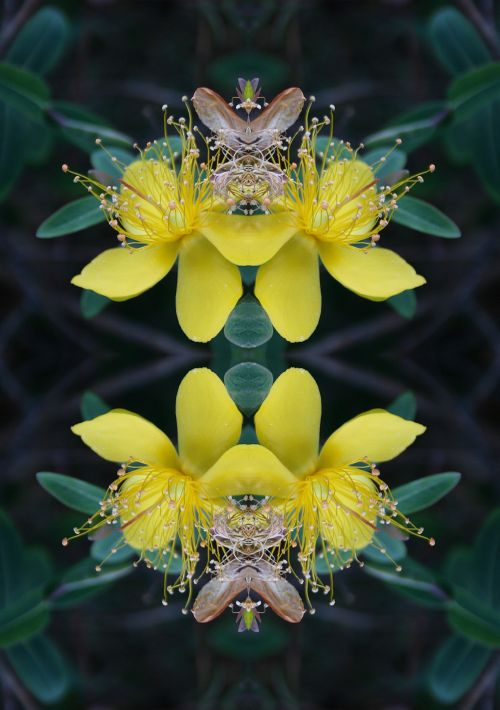 Hypericum Flower Repeat
