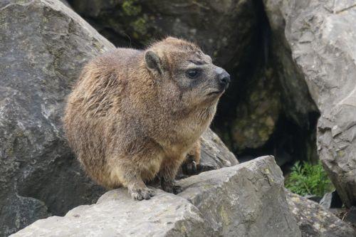 hyrax marmot-like fast