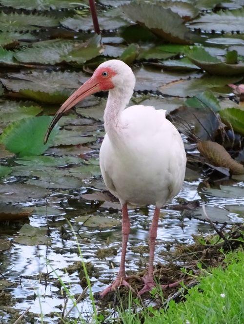 ibis white bird