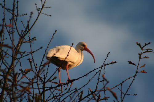 ibis low-country birds water birds