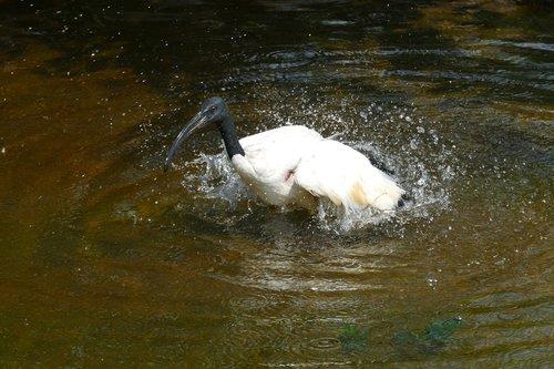 ibis  sacred ibis  threskiornis aethiopicus