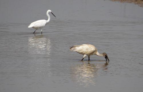 ibis white ibis egret