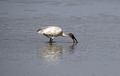 ibis white ibis bird