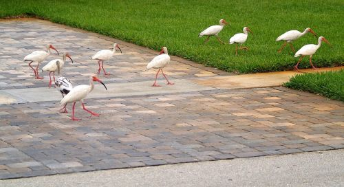 ibis,birds,group,feathers,wings,wading,long,skinny,legs,curved,beaks,walking,feeding,tropical,wildlife,white,brown,spots,neighborhood,garden,nature,natural,stork,crane,waders,coastal,orange,red,breeding,season,american white ibis,florida