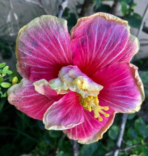 ibisco petals pink garden