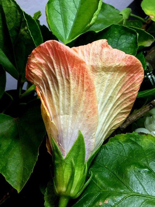 ibisco  pimpollo  hibiscus orange