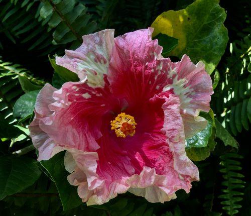 ibisco pink pink flower flower