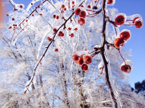 ice trees crabapple