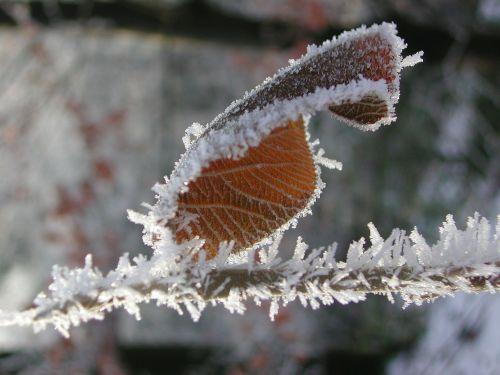 ice leaf frozen