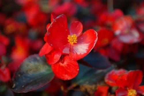 ice begonia flower blossom