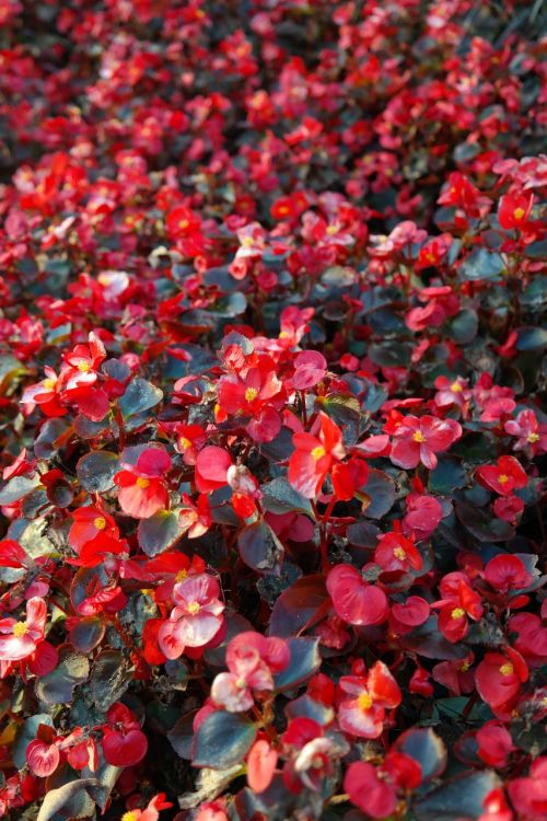 ice begonias flowers red