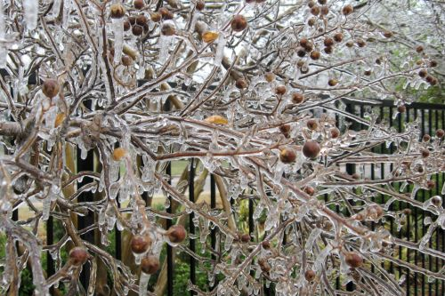 Ice-covered Crepe Myrtles