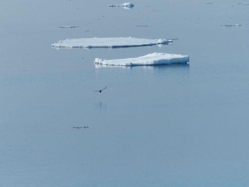 ice floe norwegian sea gull