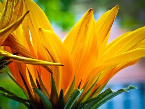ice plant flower blossom