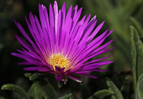 ice plant flower blossom