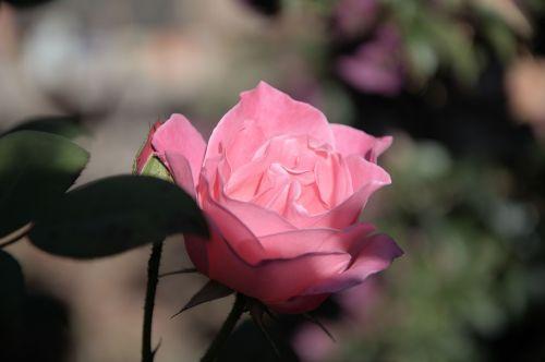 ledkalnis,rožinė rožė,aromatingas,pedalai