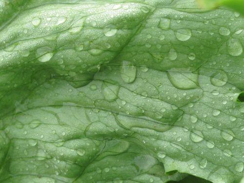 iceberg lettuce macro frisch