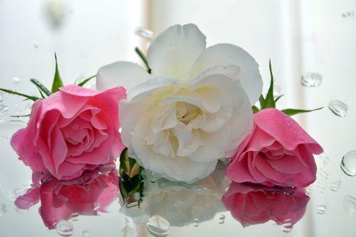 ledkalniai,aromatingas,rožės,pedalai