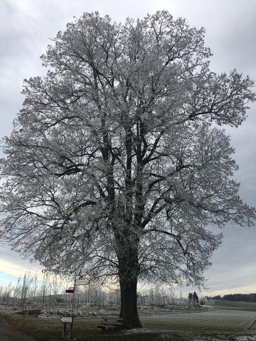 iced tree winter