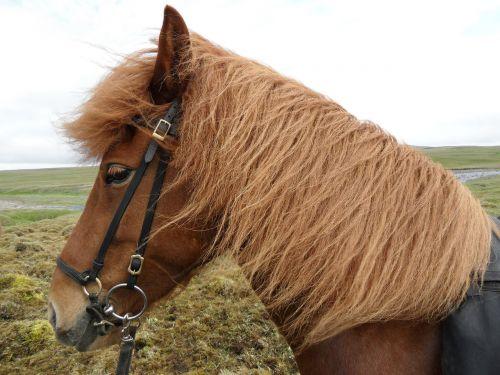 iceland iceland horse wind