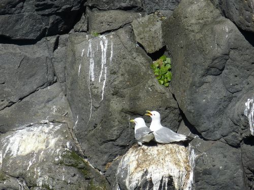 iceland seagull bird