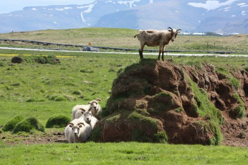 iceland billy goat sheep