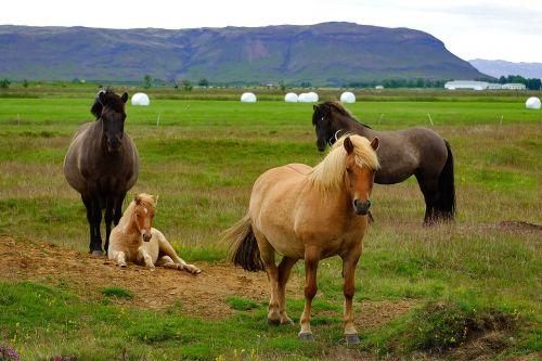 iceland,iceland pony,arklys,gyvūnas,islandų salos,Islandijos arklys,kumeliukas,Mare,flock,maži arkliukai
