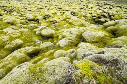 iceland moss landscape lava stones