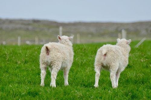 iceland lambs white