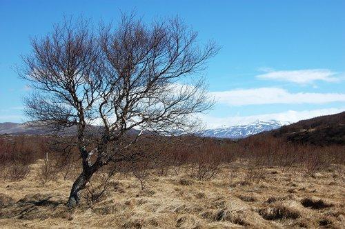 iceland  lone tree  vegetation