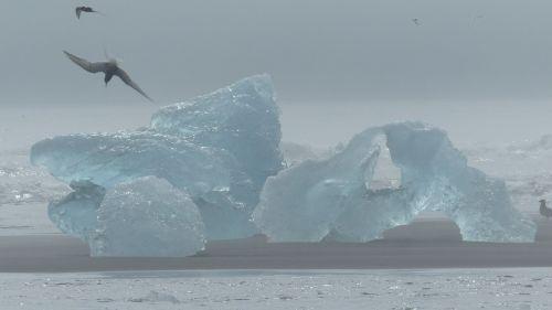 iceland iceberg bird