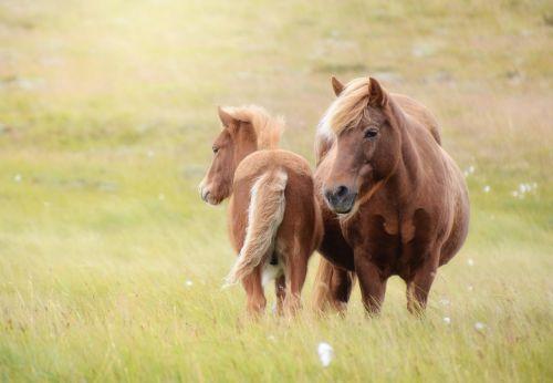 Islandijos arklys,arklys,kumeliukas,Mare,iceland