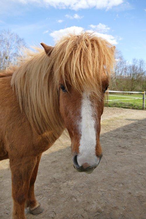 iceland horse  horse  coupling